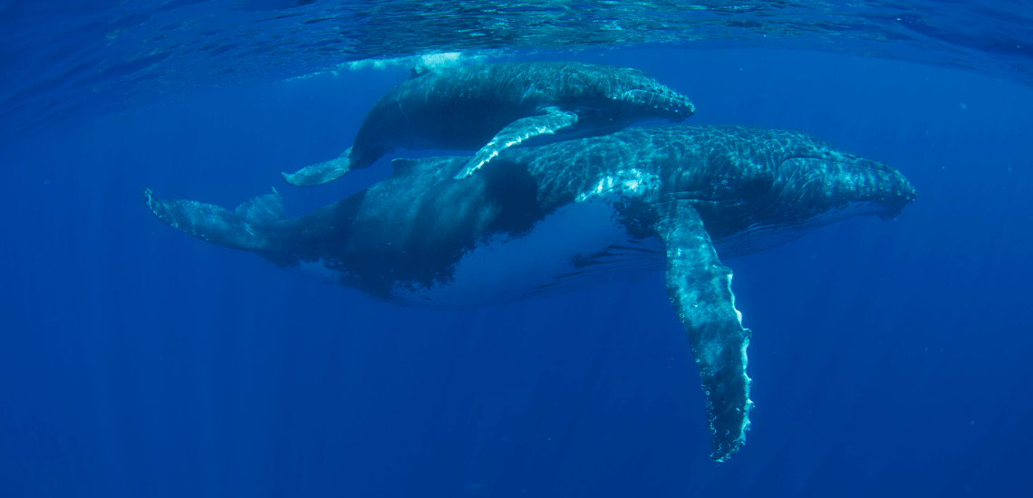 https://tahititourisme.es/wp-content/uploads/2018/03/mooreaactivitiescenterwhaleswatching_1140x550-min.png