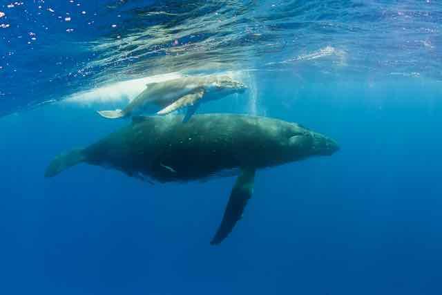 https://tahititourisme.es/wp-content/uploads/2019/04/Bora-Bora-Humpback-Whales.jpeg