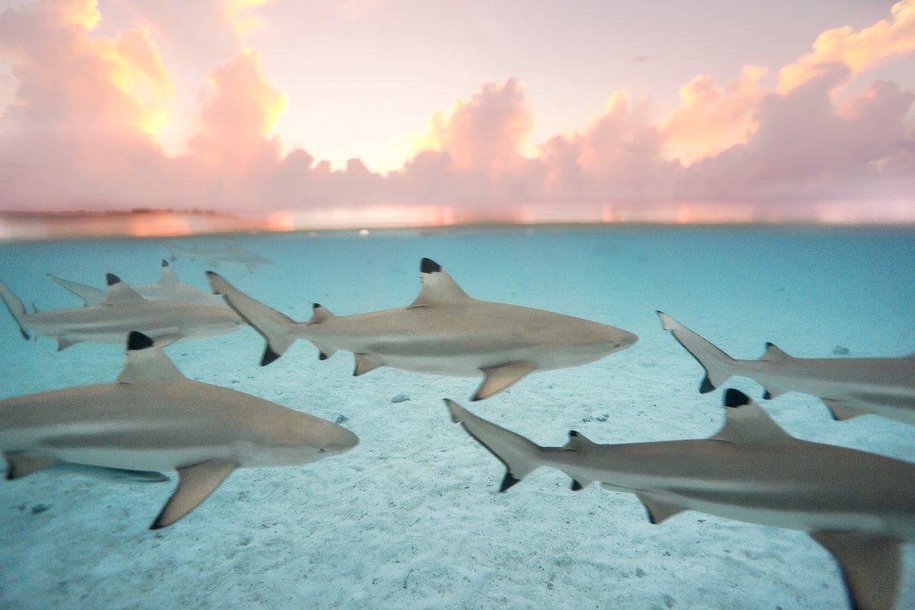 https://tahititourisme.es/wp-content/uploads/2020/06/blacktip-reef-shark-sunset.jpg