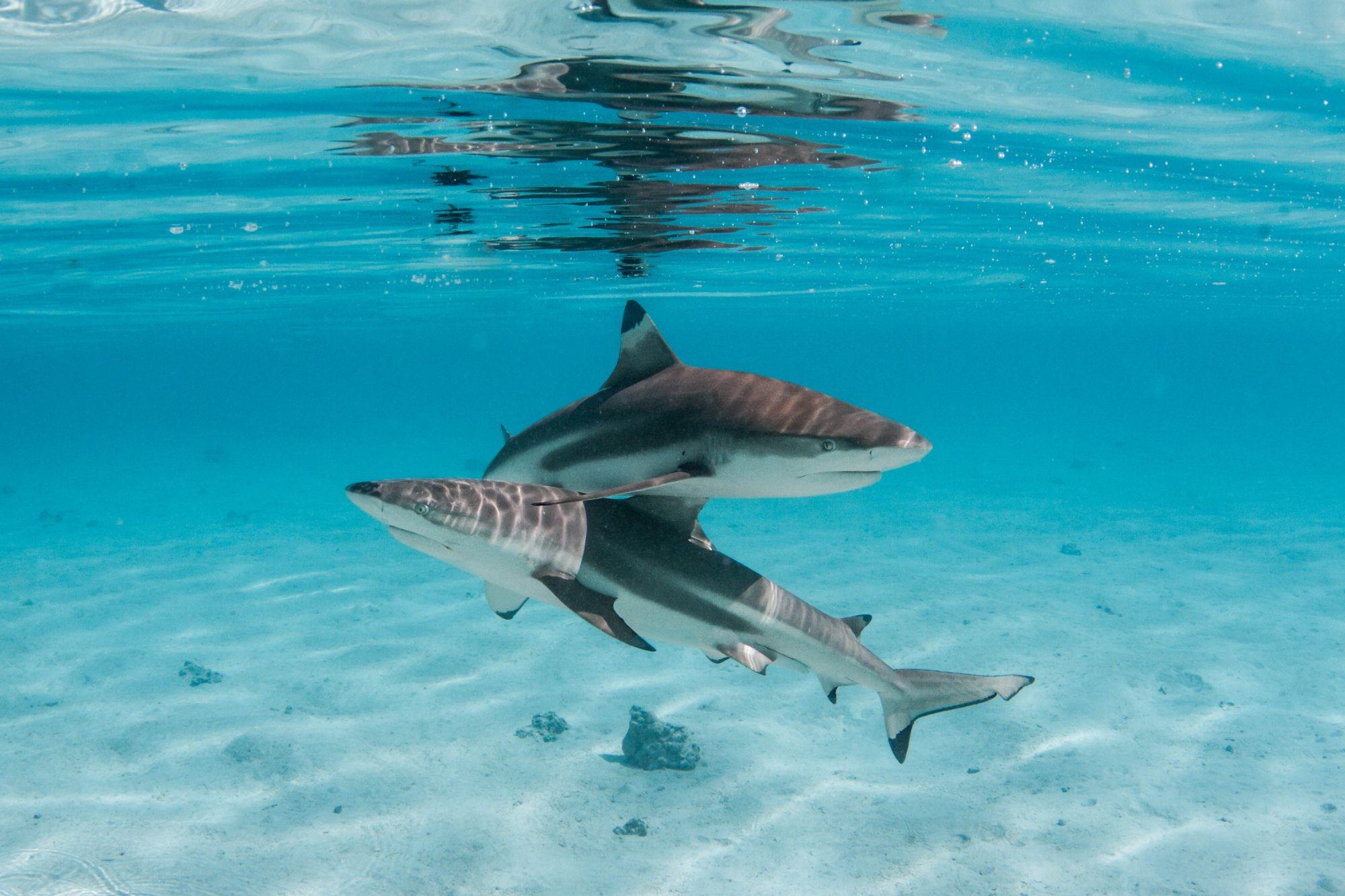 https://tahititourisme.es/wp-content/uploads/2020/06/deux-magnifiques-requins.jpg